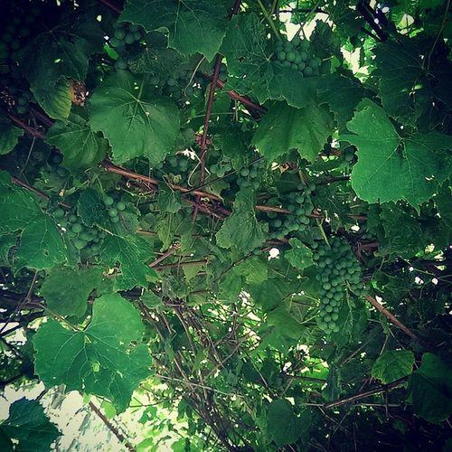 Grapes Green Summer Brown amazing tree beautiful ????