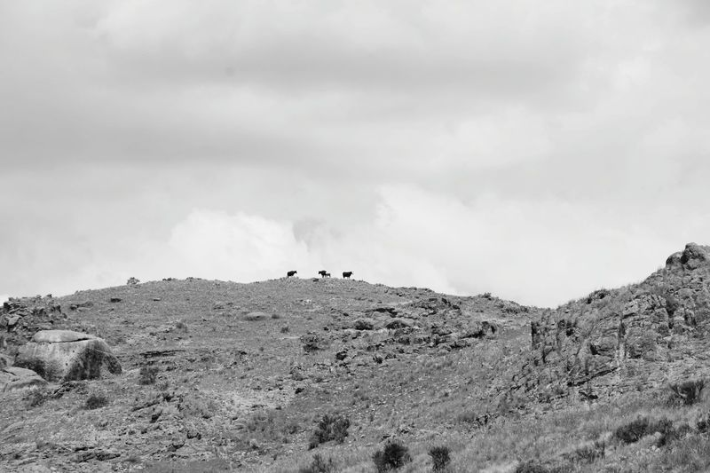 vacas en la cima de una montaña Minimalism Cows Rural Clouds And Sky Top Of The Mountains EyeEm Selects Outdoors Animal Themes Day Sky Animals In The Wild Nature Scenics Cloud - Sky Beauty In Nature Silhouette Landscape Mountain Mammal No People