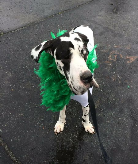 My buddy Mr Buster Crazy pants.... ADOPTED DANE!!!!! Love him to death!!!! Adopt A Dane!!!! Love My New Life St Patty's Day Chatolette NC Dog Adoption First Eyeem Photo Luv The South... Back For Now Amazing
