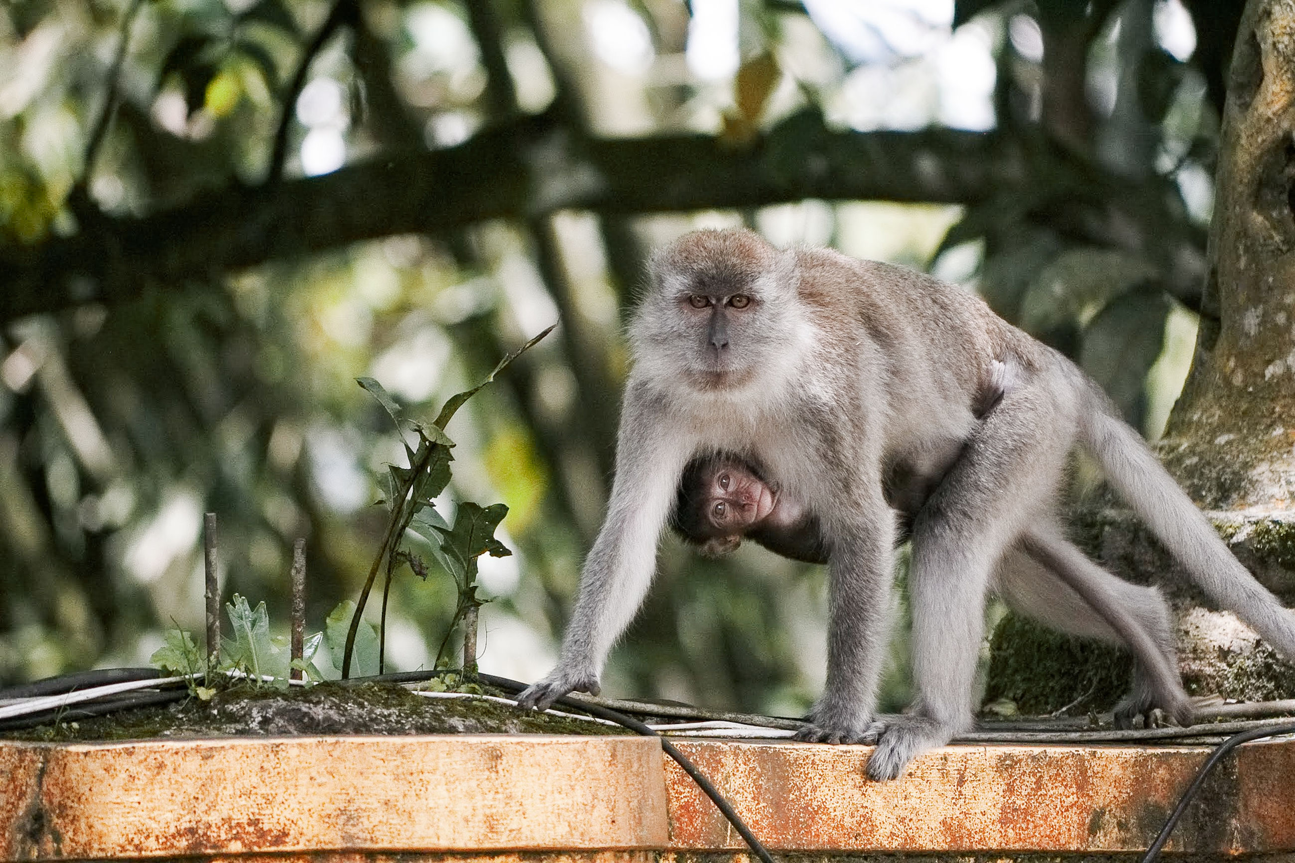 primate, mammal, animal wildlife, animals in the wild, one animal, vertebrate, tree, day, focus on foreground, plant, no people, nature, outdoors, sitting, zoology, looking