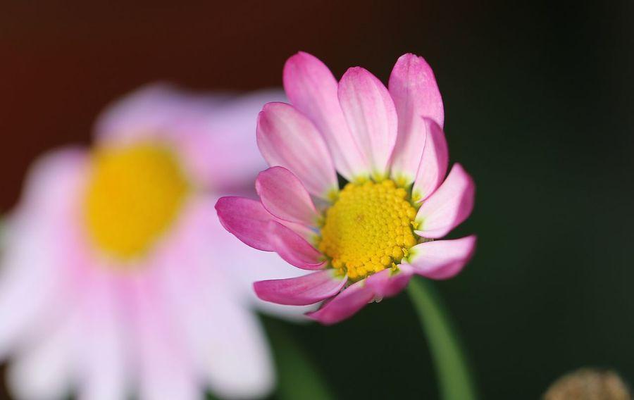 Flower Head Flower Beauty Pink Color Petal Yellow Springtime Blossom Close-up Plant