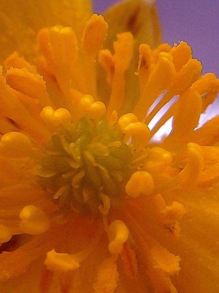 Macro Beauty Buttercup Stamen Meeldraden Stamper Bloemen Boterbloem