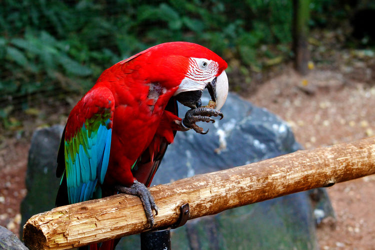 Close-up of macaw eating while sitting on stick