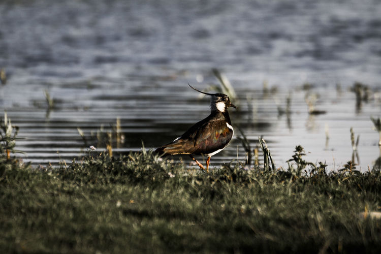 lapwing Animal Themes Animal Wildlife Animals In The Wild Bird Day Grass Lake Nature No People One Animal Outdoors Perching Water