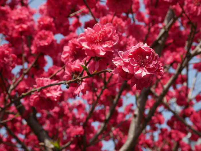 Beauty In Nature Cherry Blossom Cherry Tree Flower Flower Head Flowering Plant Freshness Growth Nature No People Pink Color Plant Plum Blossom Red Springtime Tree