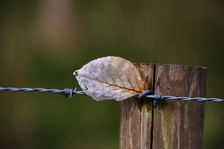 England's currently supremely hot summer cannot hide from Autumn, Dry Leaf EyeEm Selects Fence Boundary Barrier Barbed Wire Wire Focus On Foreground Close-up Protection Safety Wood - Material Security No People Day Metal Nature