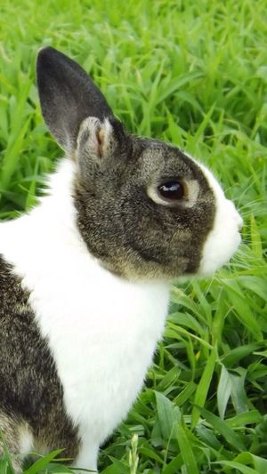 Bunny With One Ear Black And White Bunny Bunny In Grass Nibbles Rabbit Bunny  Day Cute Animal