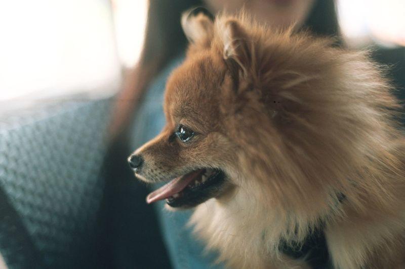 Analogue Photography EyeEm Selects Pets Domestic Animals One Animal Mammal Dog Animal Themes Pomeranian Close-up No People Indoors  Day