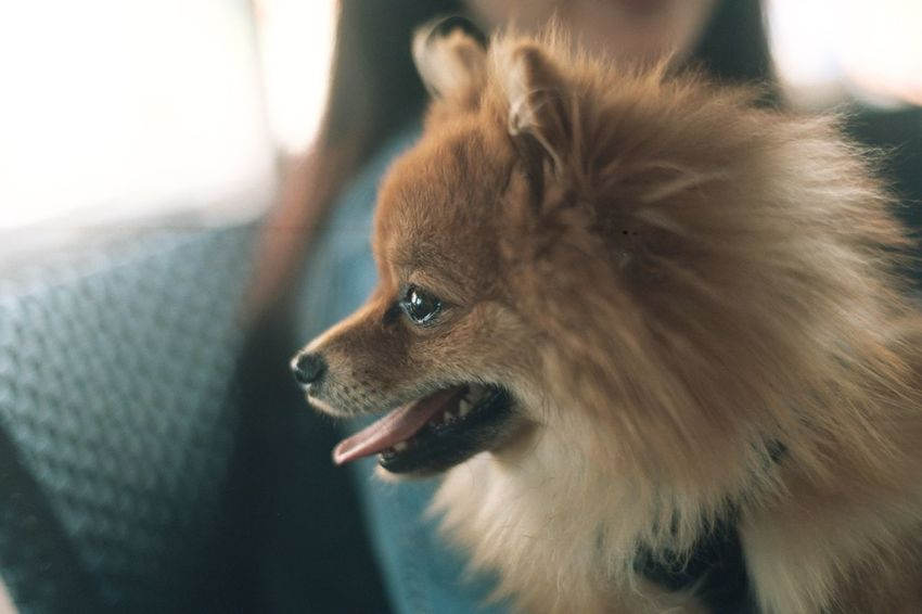Analogue Photography EyeEm Selects Pets Domestic Animals One Animal Mammal Dog Animal Themes Pomeranian Close-up No People Indoors  Day