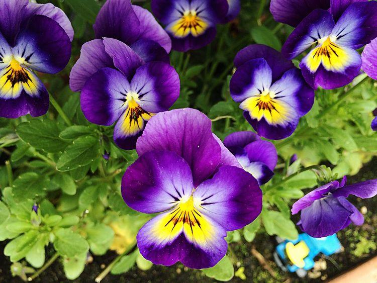 Heartsease Violatricolor Springflowers Nature Spring Garden Gardenflowers Ilovenature