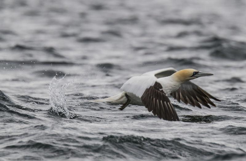 Gannet flying over river