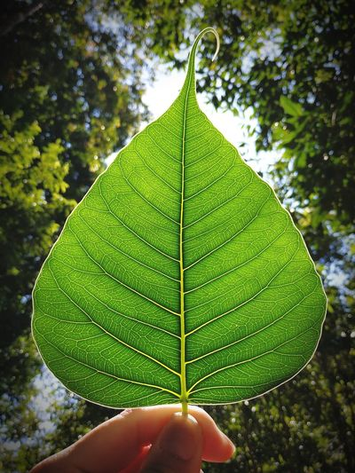 Bodhi Leaf Bodhi Tree Bodhi Leaf Buddha Buddhism Human Hand Leaf Autumn Tree Water Close-up Sky Leaves Natural Pattern