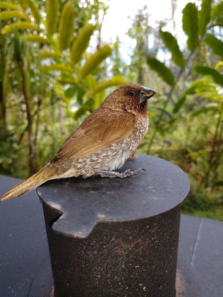 one of our many wild birds in our yard...he just happened to try and fly through the house via the picture window! so we propped him up on the BBQ smoke stack and a few minutes later, he flew away😁🤙 Bird Lovers Wild Bird Wild Birds Tree Full Length Close-up Animal Themes Perching Sparrow