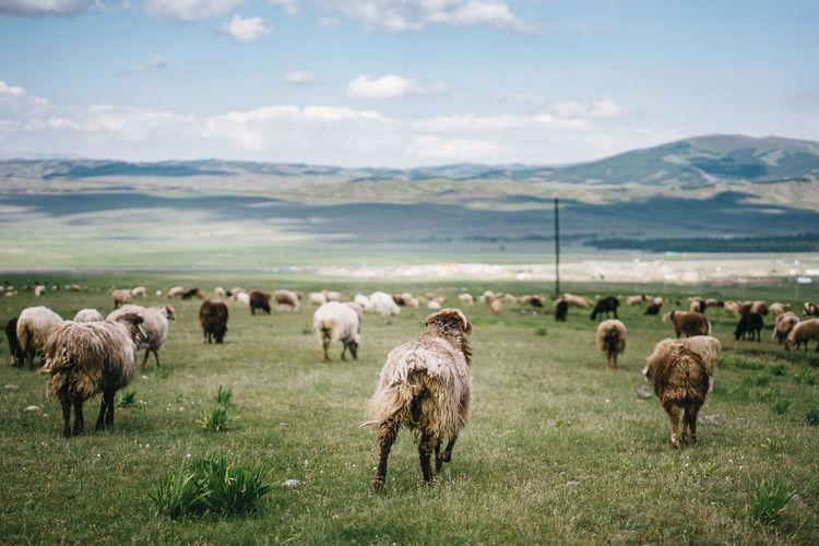 Rear view of sheep grazing on grassy field