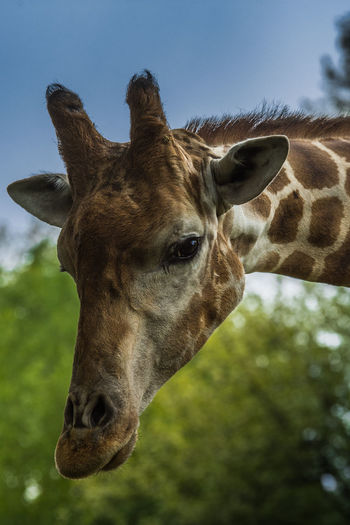 Nikon D750 Animal Animal Body Part Animal Eye Animal Head  Animal Nose Animal Themes Animal Wildlife Animals In The Wild Close-up Focus On Foreground Giraffe Looking At Camera Nature One Animal Outdoors Portrait Sky The Great Outdoors - 2018 EyeEm Awards