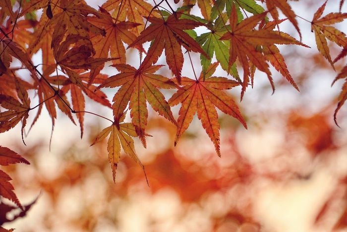 Japan Photos Treepark LeafAutumn Change Nature No People Day Full Frame Garden Freshness Urban Nature Rural Scene Fall Urban Morning Beauty In Nature Red Outdoors Backgrounds Scenics Maple Leaf Beauty Close-up Tree