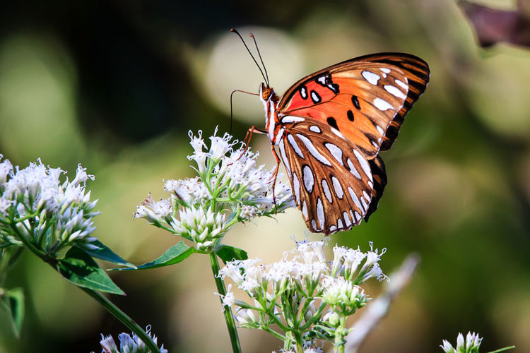 Animal Animal Themes Animal Wildlife Animal Wing Animals In The Wild Beauty In Nature Butterfly Butterfly - Insect Close-up Flower Flower Head Flowering Plant Fragility Freshness Growth Insect Invertebrate Nature No People One Animal Outdoors Petal Plant Pollination Vulnerability