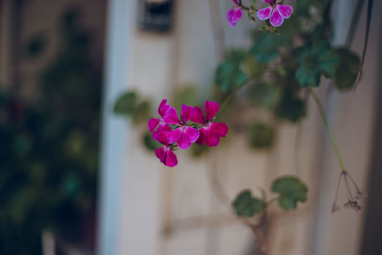 Flowering Plant Flower Plant Fragility Freshness Vulnerability  Beauty In Nature Pink Color Focus On Foreground Petal Close-up Inflorescence Flower Head Building Exterior Architecture Nature Day Growth No People Built Structure Outdoors Purple