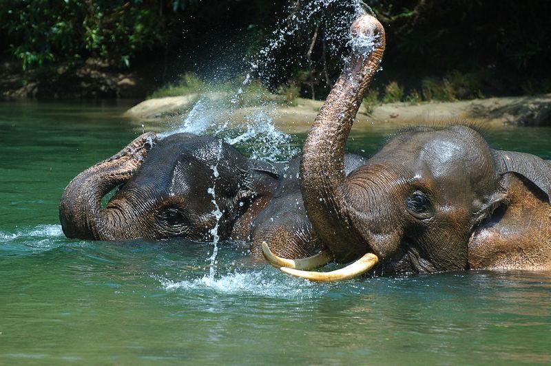 Full length of elephants in water