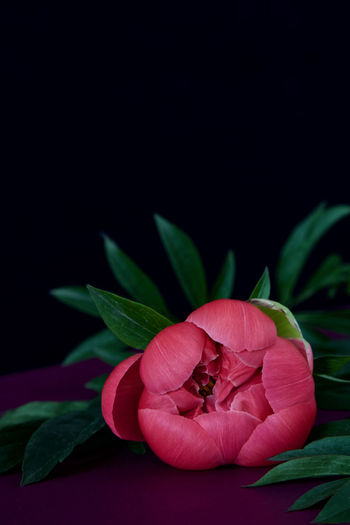 Close-up of pink flowering plant over black background