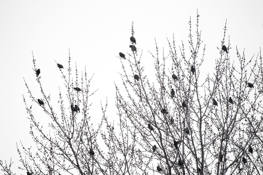 Trees full of black birds in winter Background Winter Flock Of Birds Black Birds Birds Growth Nature Flower Beauty In Nature Low Angle View Branch Plant Clear Sky Fragility Freshness Sky Day No People Tree Outdoors Shades Of Winter