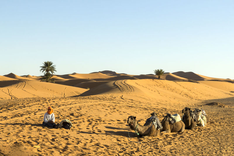 Person sitting by camels on desert against clear sky