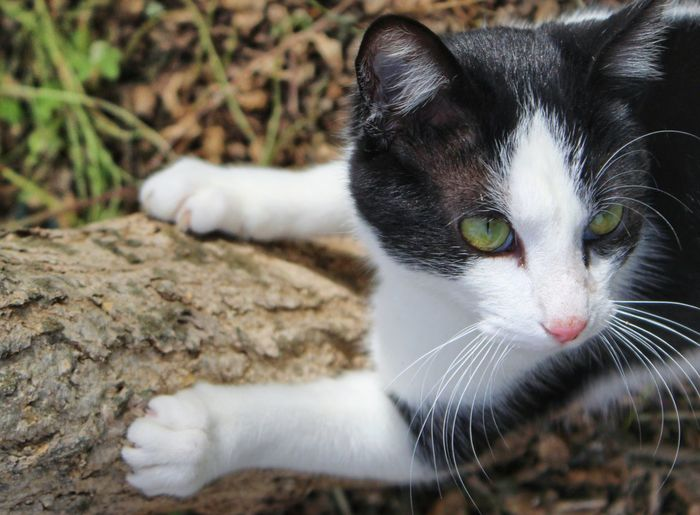 EyeEm Selects Domestic Cat Pets Domestic Animals One Animal Feline Animal Themes Mammal Portrait Looking At Camera Close-up Day