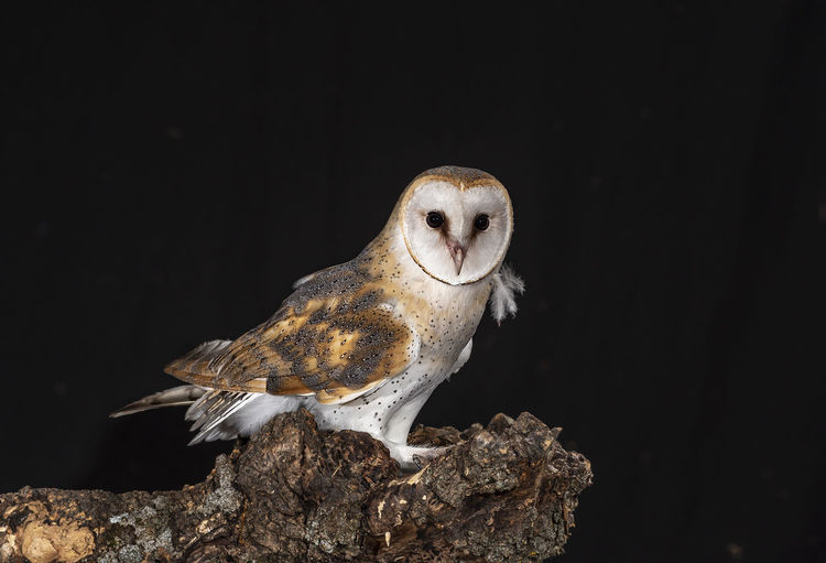 Close-up of owl perching on wood against black background