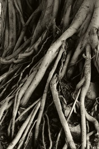 life ain't so straight! Roots Blackandwhite Nature Close-up No People Tree Tangled Banyan Tree Bnw Wallpaper
