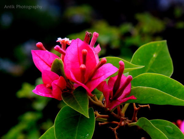 Pink Color Flower Nature Plant Leaf Beauty In Nature No People Multi Colored Flower Head Red Outdoors Close-up Beauty Day Fragility Freshness