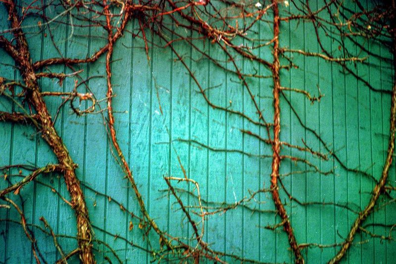 Canonphotography Canon Analog Photography Analog Green Color Plant Ivy Day Close-up Textured  Outdoors Blue Branch