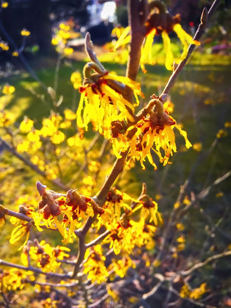 Beauty In Nature Branch Change Close-up Flower Focus On Foreground Freshness Garden Growth Nature Selective Focus Tree Witch Hazel Yellow Zaubernuss