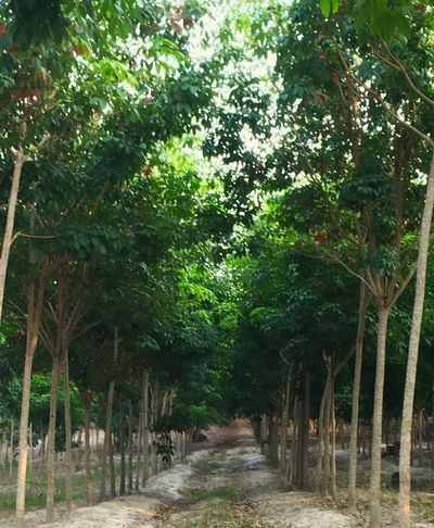 Rubber tree plantation. Rubber Tree Dirt Road Green Green Green!  Nature Photography Shot By IPhone6s Plus