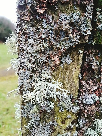 Kaa is a wheel Day Close-up Outdoors No People Nature Beauty In Nature Awesome Clean Air Textured  Lichenlove Lichenized Fungus Lichen Maze Lichen On Wood Lichen White Lichen Pattern Lichen Beauty Lichens Lichen Beauty In Nature Green Color Growth Nature Textured  Amazing Inspiring