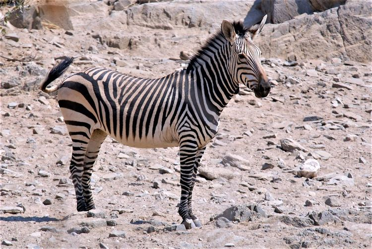 Africa Animal Themes Animal Wildlife Animals In The Wild Day Desssert Mammal Nature One Animal Outdoors Zebra