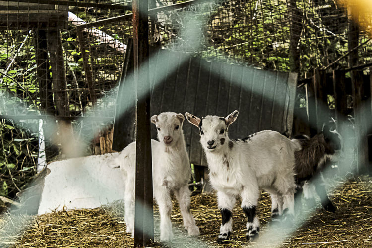 Little Goats. Animal Photography Animal Themes EyeEm Animal Lover Farm Goats Herbivorous Little Livestock Nature No People Outdoors Two Animals