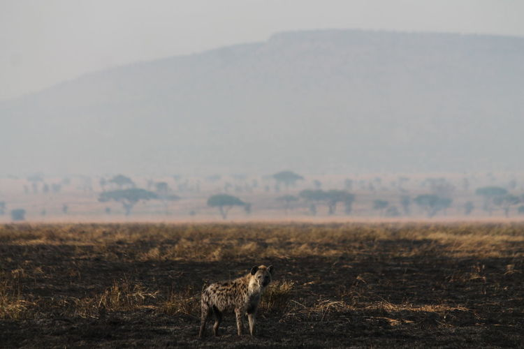 Hyena standing on field against mountain