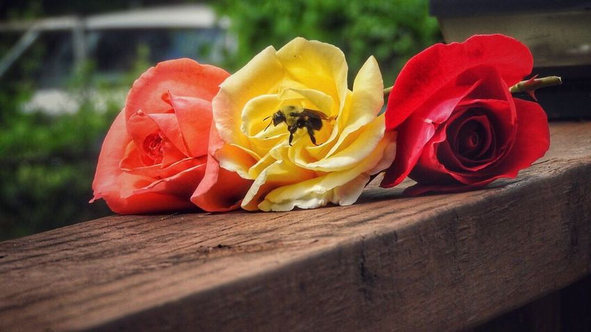 Mr Bee, Decided to visit Beauty In Ordinary Things Things I Love Things I Saw Today MyPhotography Outside My Window Outdoor Photography Roses Redrose  Pinkrose Yellowrose Flowers Bee Buzzing Bee Insects  Beauty In Nature Beautiful Stunning_shots
