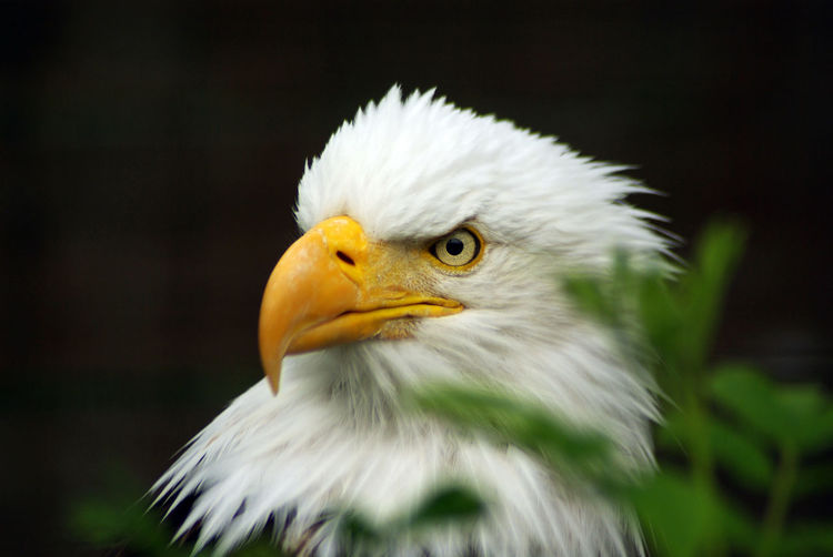 Bald Eagle Bald Eagle Portrait Raptor Animal Animal Body Part Animal Eye Animal Head  Animal Themes Animal Wildlife Animals In The Wild Bald Eagle Bald Eagle Close-up Beak Bird Bird Of Prey Close-up Eagle Eagle - Bird Focus On Foreground No People One Animal Outdoors Portrait White Color Yellow Eyes