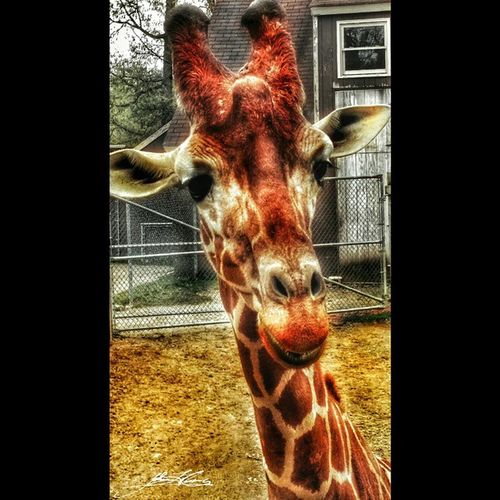 Squareinstapic Wildlife Zooanimals Pettingzoo Richmondmetrozoo Giraffes Colorful Food HDR Nature Petsandanimals Photography Spring Pettingzoo Giraffes Wildlife Girraffeselfie