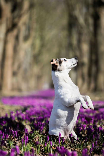 Jack Russell standing on his feet doing tricks Jack Russell Animal Animal Head  Animal Themes Crocus Dog Doing Tricks Dog Portrait Domestic Domestic Animals Little Dog Looking Away One Animal Pets Purple Sit Up And Beg Sitting Spring White Dog