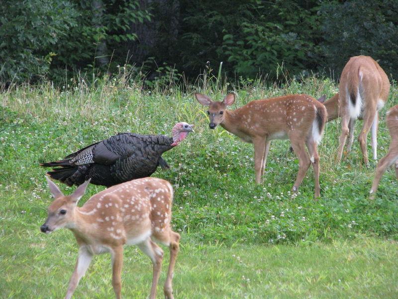Animal Themes Animals In The Wild Backyard Wildlife Bird Clover Day Deer Doe Fawn Fawns Grass Nature No People Outdoors Turkey Wildlife