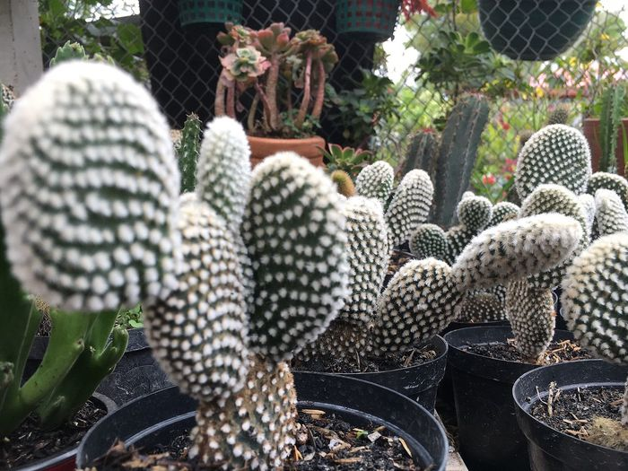 Plant Growth Nature No People Cactus Succulent Plant Outdoors Green Color Day Variation Close-up Beauty In Nature Freshness 🌵 Cactus