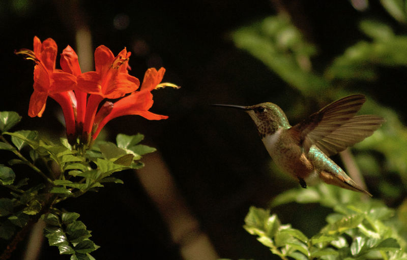 Hummingbird in flight Allen's Hummingbird Enroute To The Nectar Animal Themes Animals In The Wild Beauty In Nature Bird Close-up Day Flower Flower Head Flying Focus On Foreground Freshness Nature No People One Animal Outdoors Plant Spread Wings The Great Outdoors - 2017 EyeEm Awards