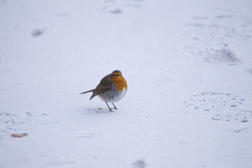 male robin in courtship plumage sits in the snow Animal Themes Animal Wildlife Animals In The Wild Beauty In Nature Bird Close-up Cold Temperature Day Field Nature No People One Animal Outdoors Perching Robin Snow Winter