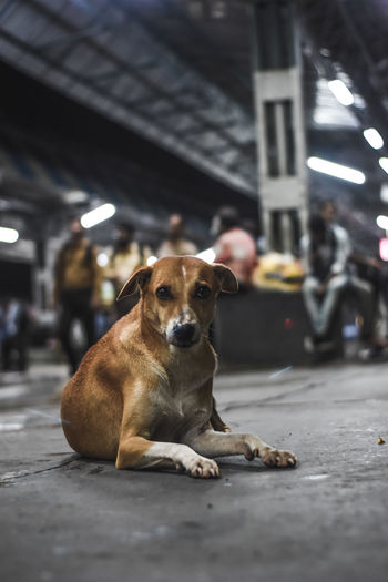 Portrait of stray dog relaxing on railroad station platform at night