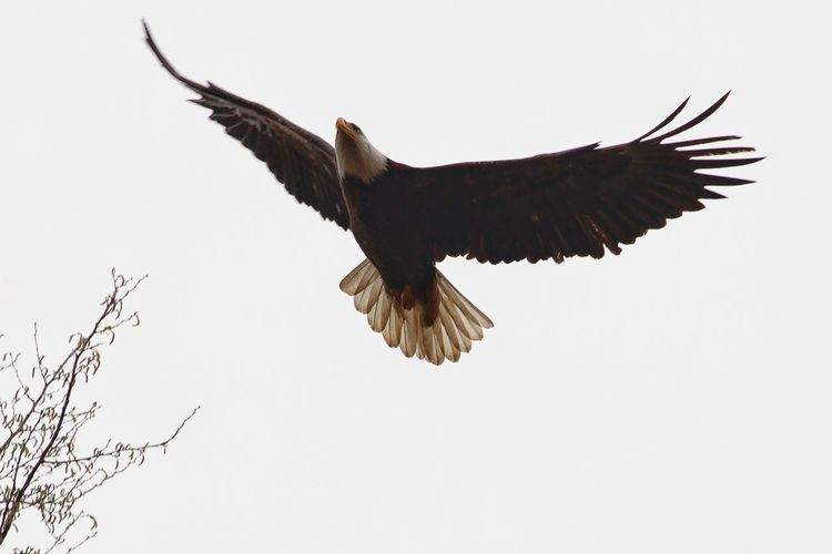 Bird Animal Themes One Animal Wildlife Flying Spread Wings Animals In The Wild Low Angle View Clear Sky Beauty In Nature Nature Bird Of Prey Flight Outdoors Eagle - Bird No People Zoology Eagle