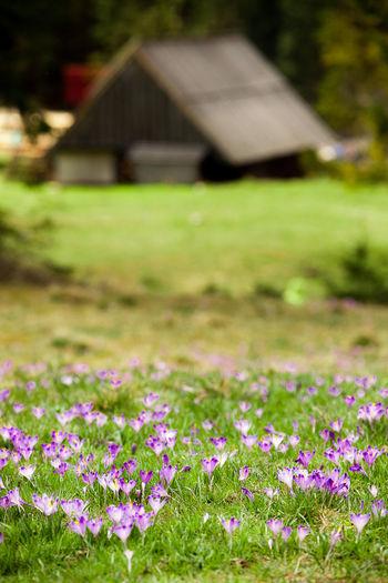 Architecture Beauty In Nature Crocus Crocus Flower Flower Freshness House Mountain Nature Outdoors Plain Plant Purple Purple Flowers Spring Wood House
