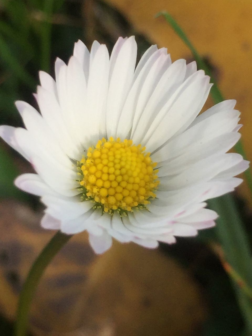 flower, petal, fragility, beauty in nature, flower head, nature, freshness, growth, white color, pollen, blooming, close-up, yellow, plant, day, no people, outdoors