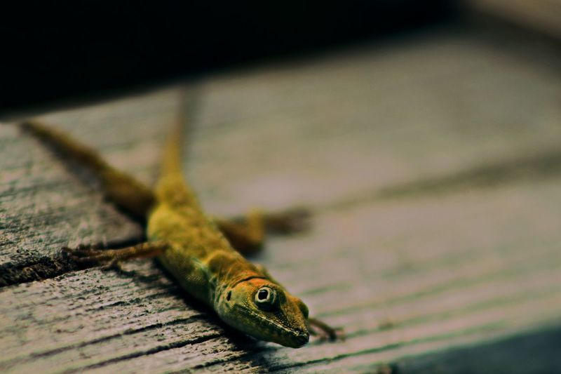 Close-up of lizard on table
